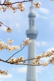 スカイツリー×桜